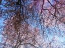 Premiers arbres en fleurs